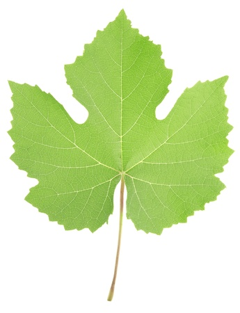 grapes on vine: Grape leaf