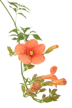 Bignonia, trumpet vine branch isolated