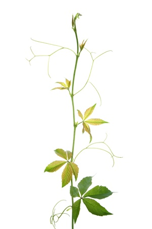 virginia: Creeper plant branch isolated on white