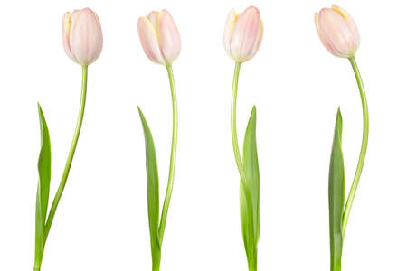 Tulip collection isolated  photo