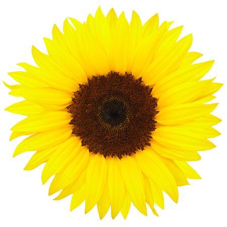 Sunflower isolated on white Stock Photo - 9519536