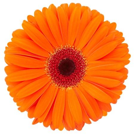 Orange flower of gerber isolated Stock Photo - 9730756
