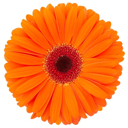 garden marigold: Orange flower of gerber isolated