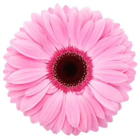 Pink flower of gerber isolated photo