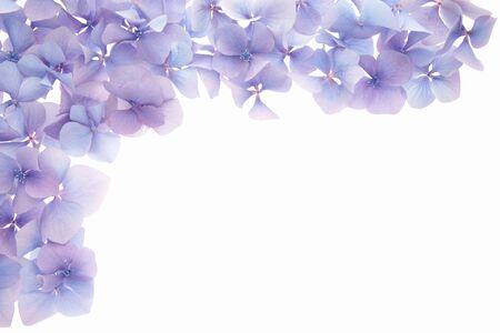 flower border: Blue hydrangea flower border