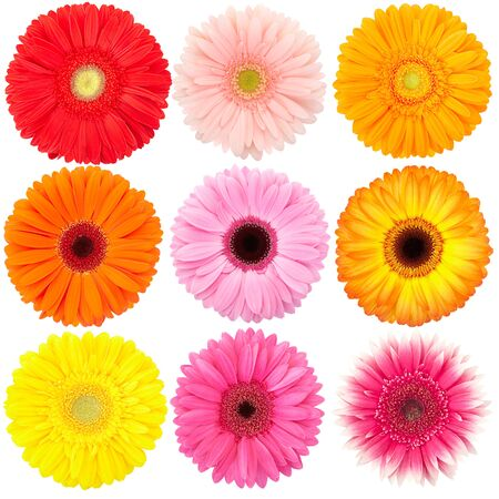 marguerite: Flower of gerber daisy collection isolated on white
