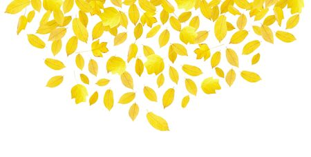 Falling yellow autumn leaves isolated on white photo