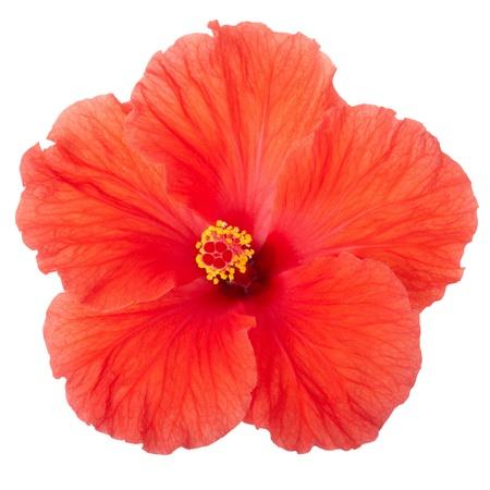 hibisco: Flor de hibisco rojo aislado en blanco, incluido trazado de recorte Foto de archivo