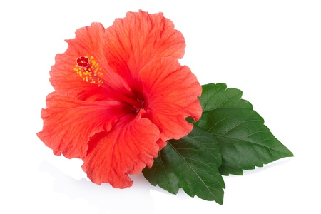 Red hibiscus flower and leaf isolated.