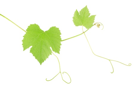 grapple: Green grape leaves isolated on white.