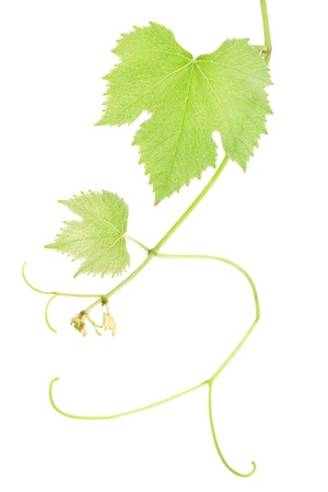Green fresh grape leaves isolated on white. photo