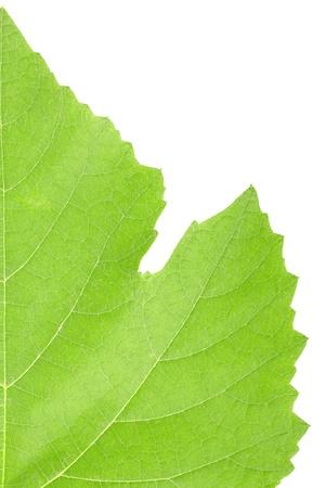 Grape leaf macro isolated on white background photo