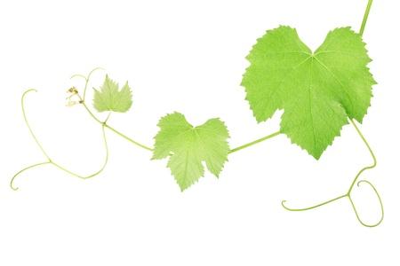 vine border: Grape vine. Stock Photo