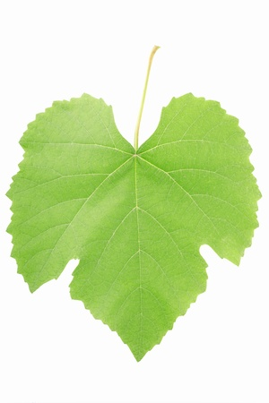 Grape leaf isolated on white background