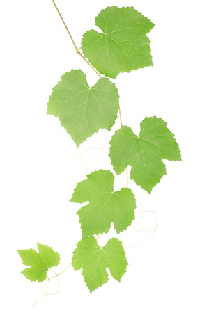 Grape leaves isolated on white, clipping path included Stock Photo - 10489053