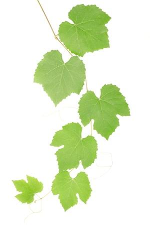 wei�e trauben: Weinbl�tter isoliert auf wei�, Clipping-Pfad enthalten