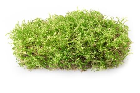 liquen: Verde musgo aislada sobre fondo blanco