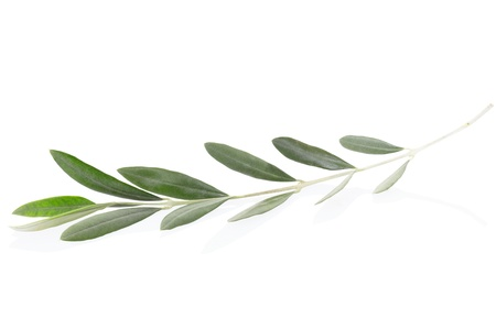 olive leaves: Olive branch leaves on white,