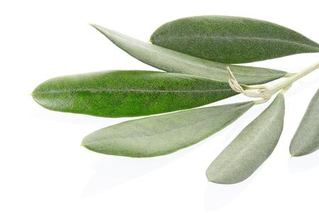 Olive twig macro on white