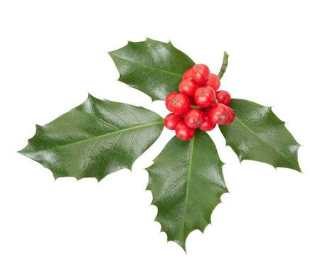 ilex aquifolium holly: Holly twig on white