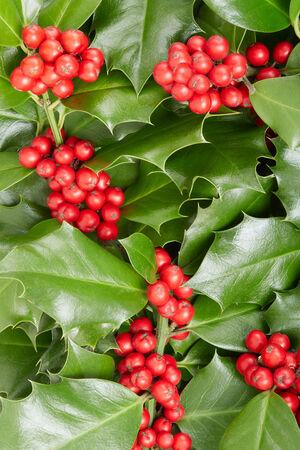 ilex aquifolium holly: Holly, Christmas decoration