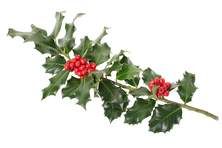 Holly branch on white, clipping path included photo