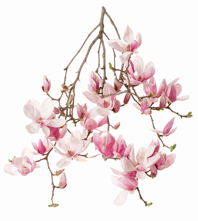 Magnolia, flower branch isolated on white