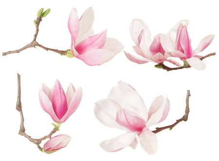 Magnolia flower twig spring collection on white