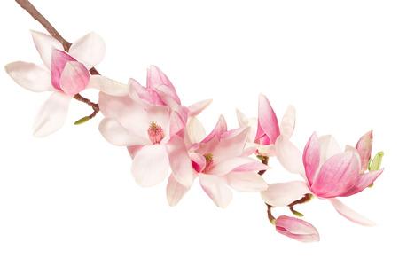Magnolia flower, spring branch on white 写真素材