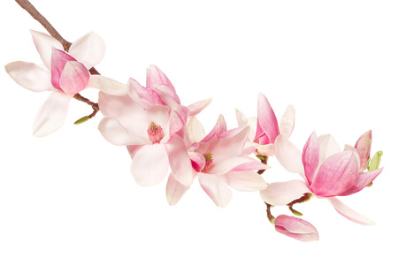 Magnolia flower, spring branch on white 스톡 콘텐츠