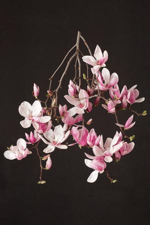 magnolia branch: Magnolia spring pink flower branch on black