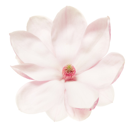 Magnolia flower isolated on white clipping path Stock Photo - 39631613