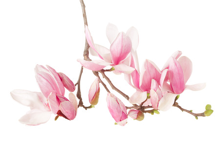Magnolia spring flower branch on white