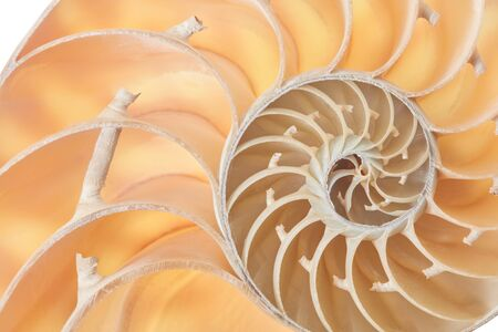 nautilus: Nautilus shell section, perfect Fibonacci pattern background