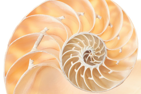 nautilus shell: Nautilus shell section, perfect Fibonacci background