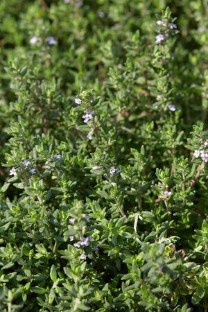thymus: Thyme, Thymus vulgaris green leaves background