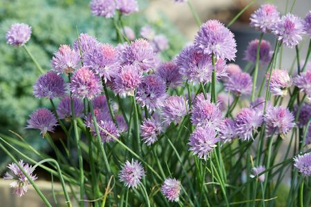 allium: Chives, Allium schoenoprasum purple flowers and leaves