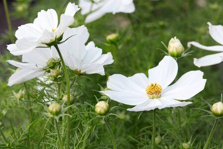 flowers white: White garden cosmos flowers, Cosmos bipinnatus background
