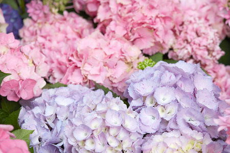 hydrangea macrophylla: Hydrangea flowers in pink and purple colors, Hydrangea macrophylla
