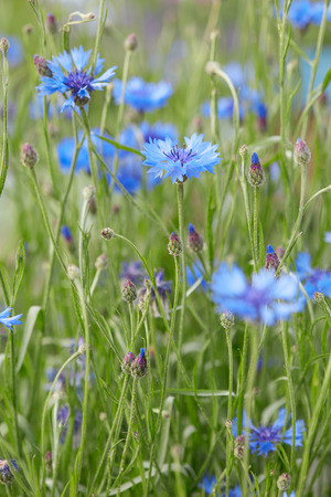 centaurea: Cornflowers, Centaurea cyanus, macro background