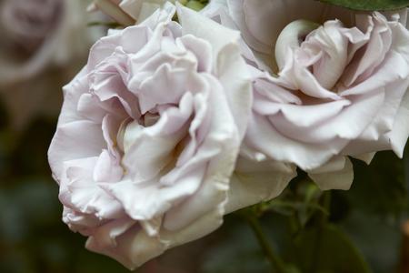 rosas blancas: Antigua rosas blancas macro en el jardín