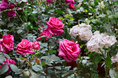 Rose garden with pink and white roses