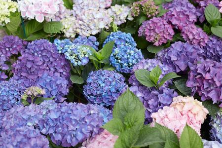 hydrangea macrophylla: Hydrangea flowers background in purple and blue, Hydrangea macrophylla Stock Photo