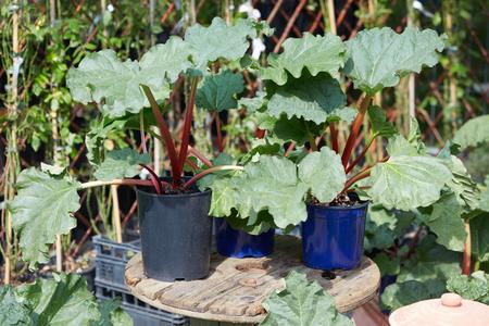 rheum: Rhubarb, Rheum palmatum plants in pots