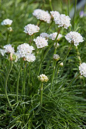thrift: Armeria maritima, thrift white flowers and plant Stock Photo