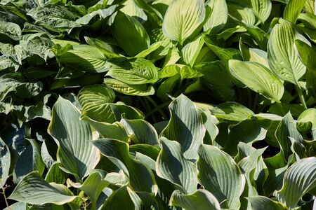plantain: Hosta or plantain lilies leaves background Stock Photo