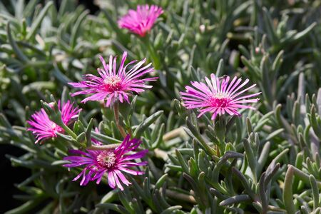 trailing: Delosperma cooperi, trailing iceplant pink flowers and leaves