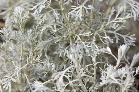 parfum: Wormwood, Artemisia Parfum d Ethiopia leaves background Stock Photo