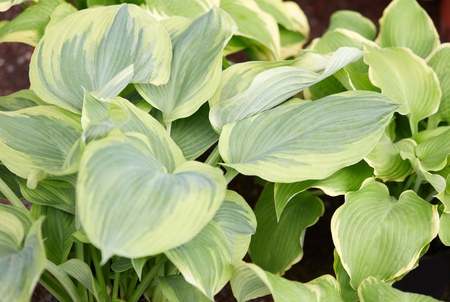 Hosta or plantain lilies leaves background Stock Photo