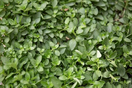 origanum: Oregano plants and leaves texture background, Origanum vulgare